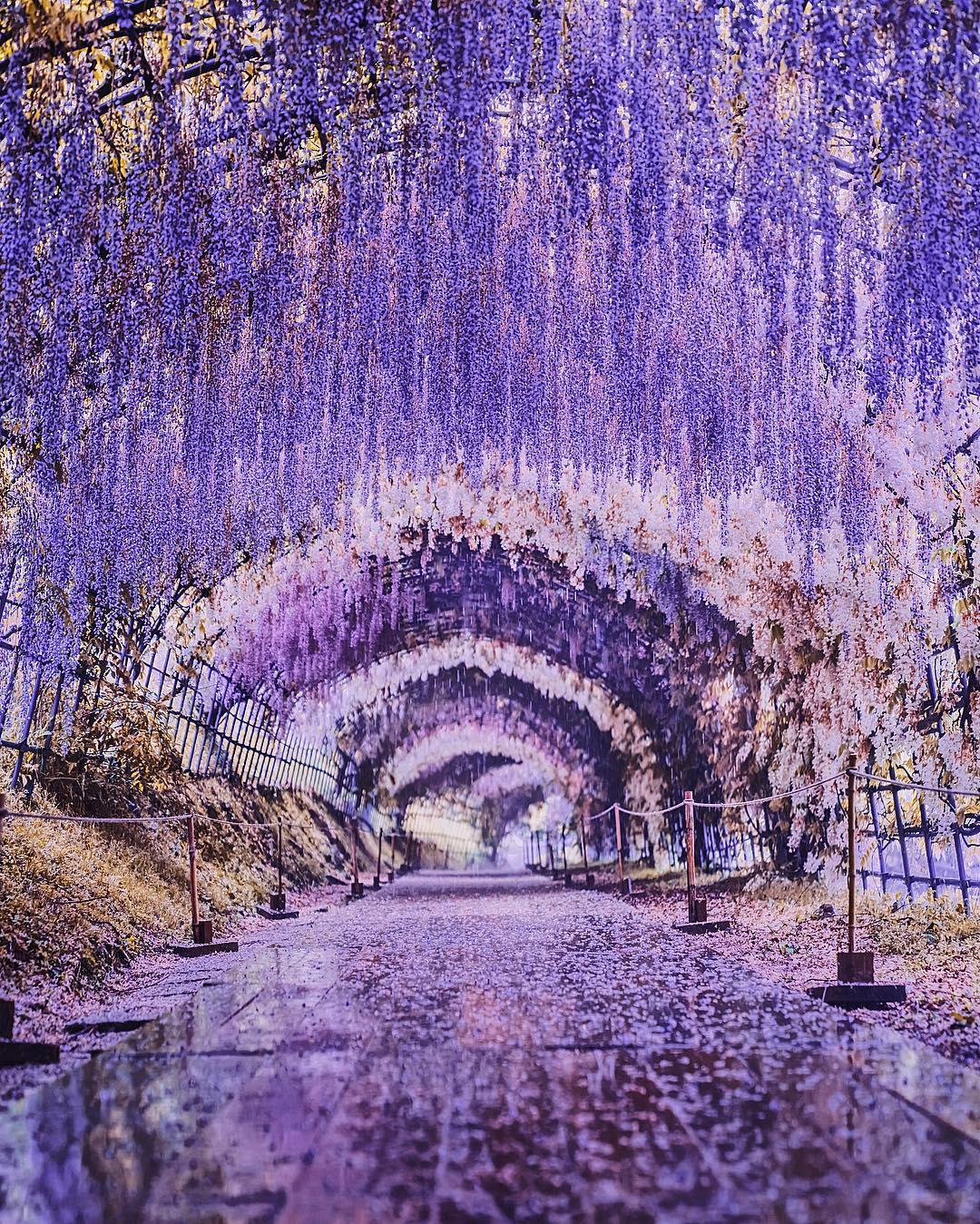 Đường hầm hoa tử đằng đẹp nhất thế giới ở Nhật Bản 1
