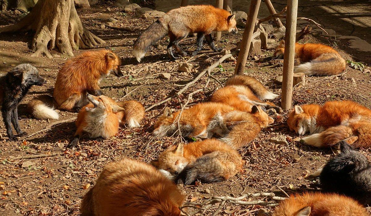 Kết quả hình ảnh cho làng zao kitsune