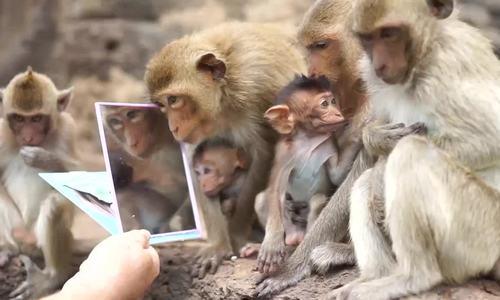 Du khách cho bầy khỉ thử soi gương ở Thái Lan 1