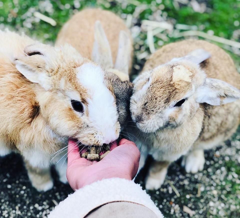 Hòn đảo tràn ngập thỏ xinh đẹp của nước Nhật 1