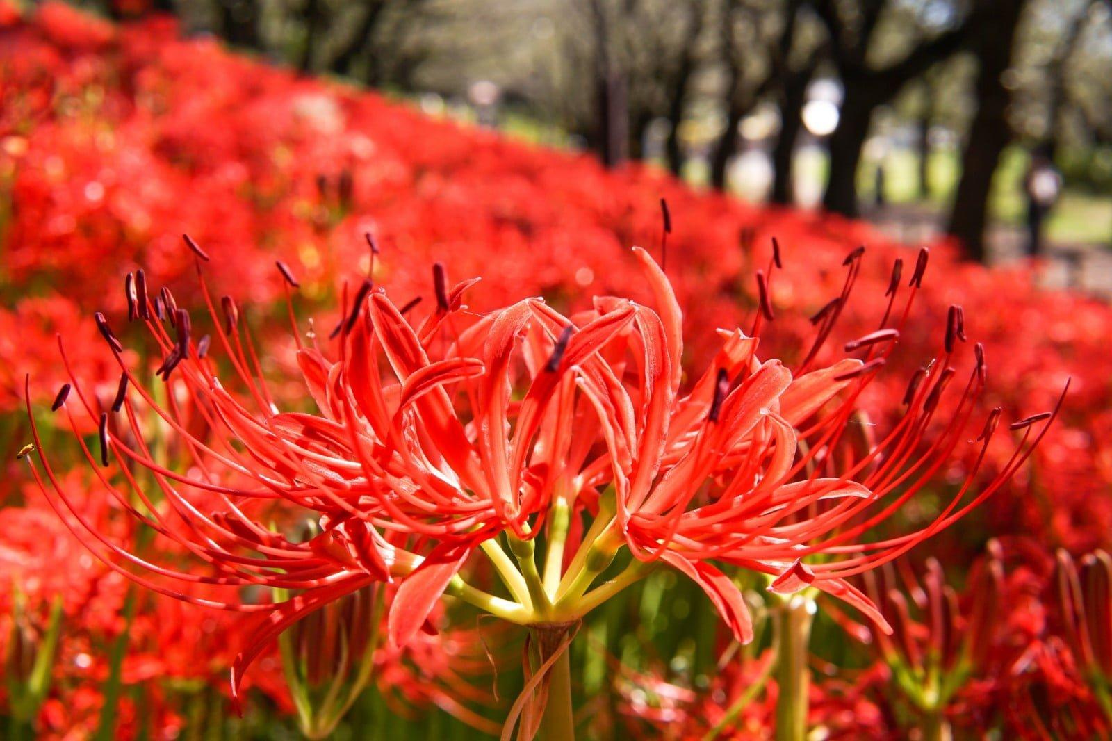 Vi vu Nhật Bản ngắm hoa Bỉ ngạn 1